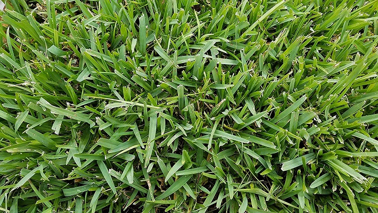 St. Augustin Grass