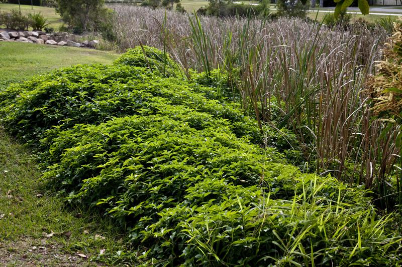 yard weeds