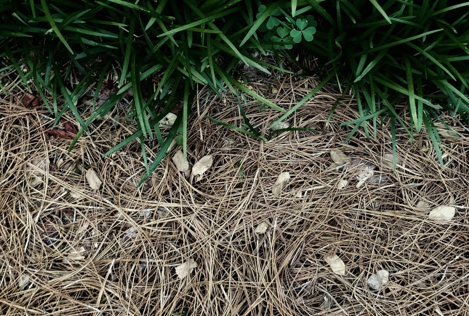 pine straw vs mulch
