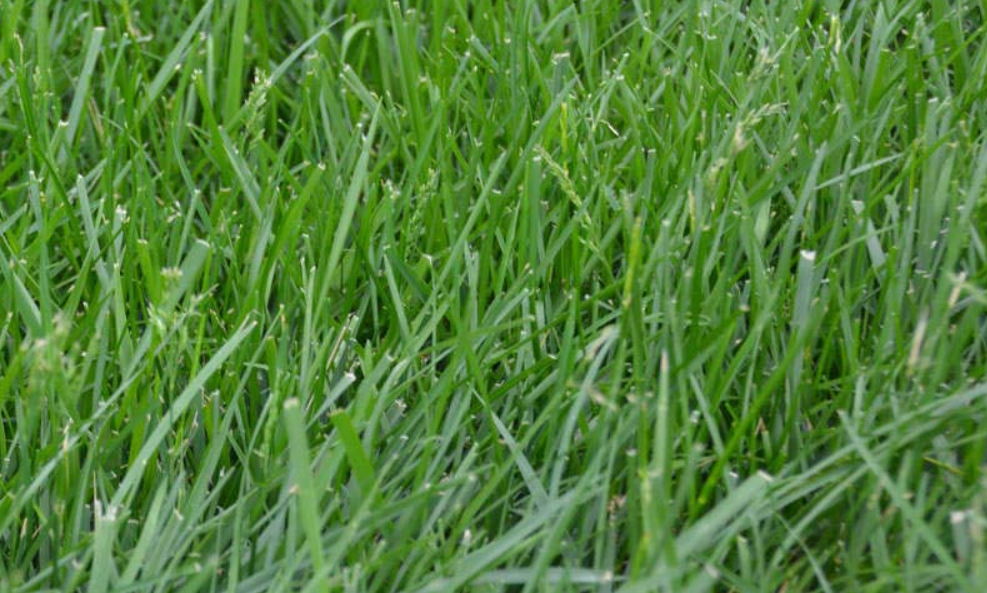 Tall Fescue Review