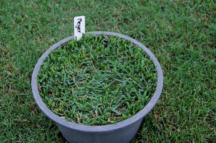 Meyer Grass