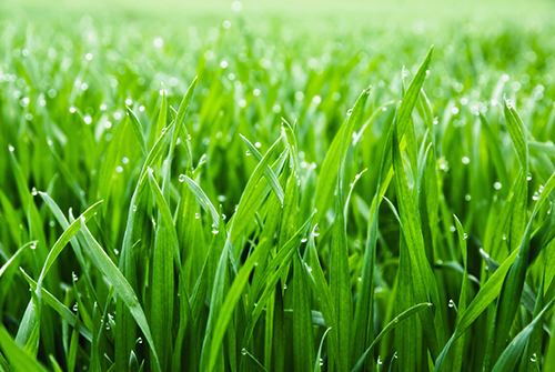 shade tolerant grass tall fescue