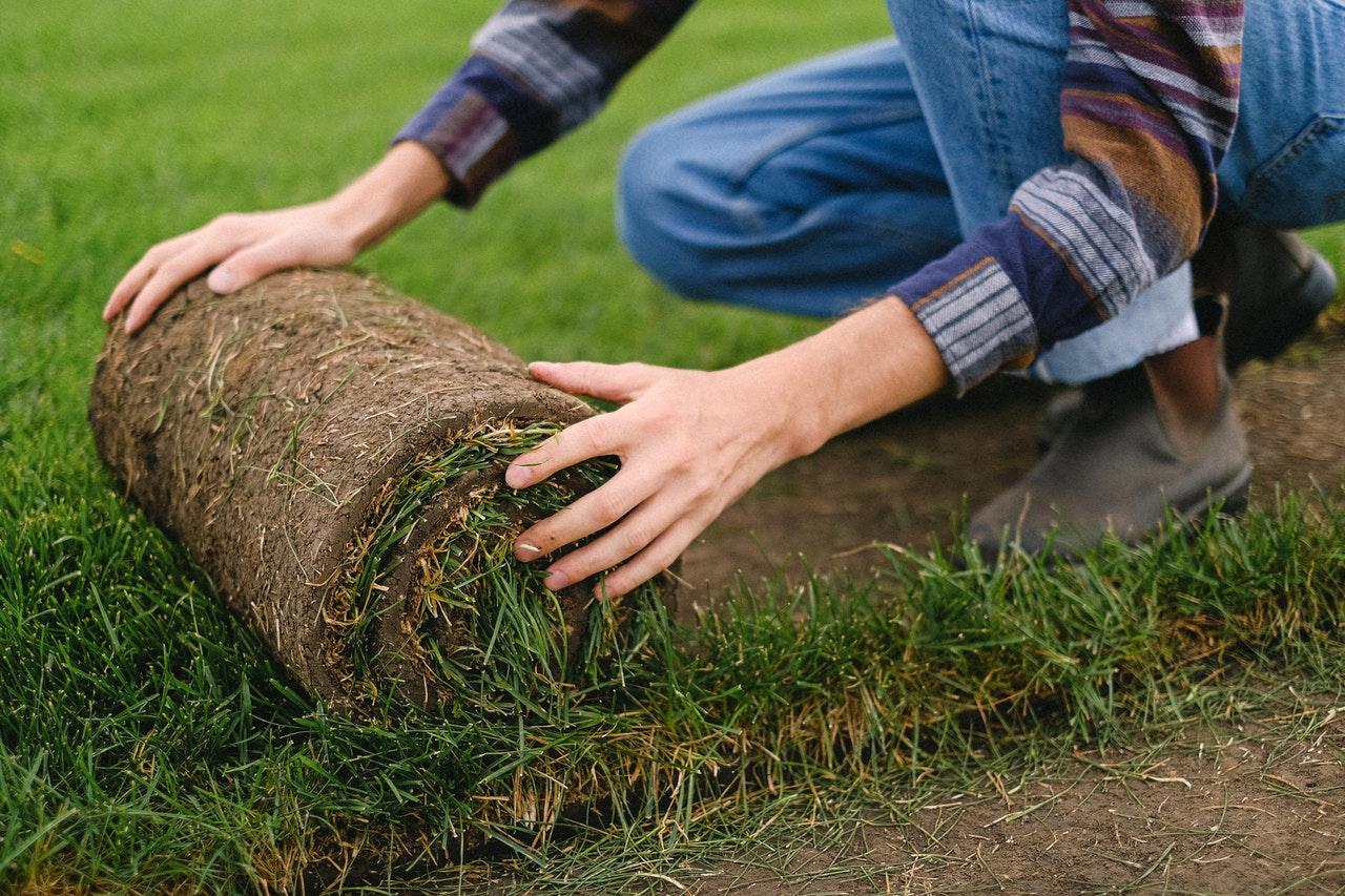 how to care for centipede grass sod